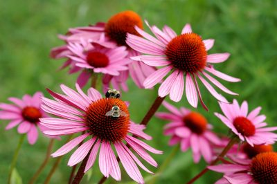 field of pretty pink flowers being pollinated by bees