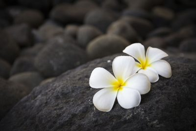 plumeria flowers and dark stones