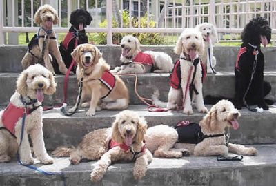 several Labradoodle Assistance dogs on steps